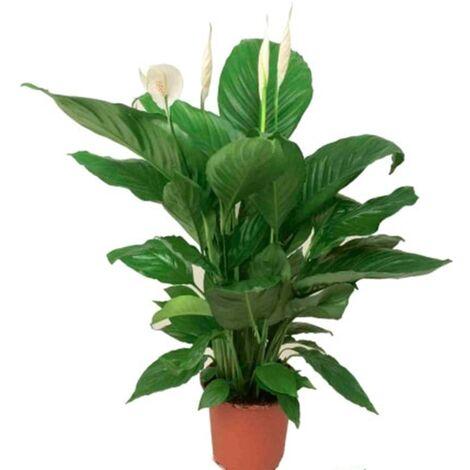Planta Espatifilo Spathiphyllum. 50 - 60 Cm. Purificador del Aire en el Hogar