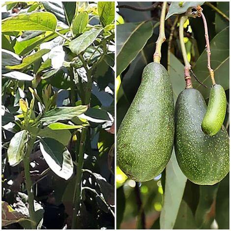 Planta Frutal Aguacate Fuerte. Resistente al Frío. 100 - 115 Cm