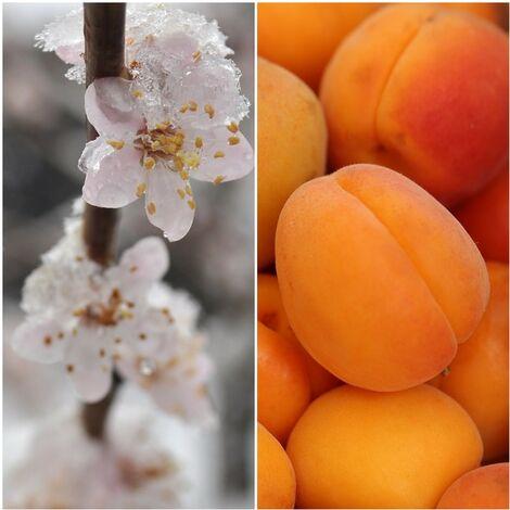 Planta Frutal Albaricoque Bergeron. Frutos Grandes. 80 - 100 Cm