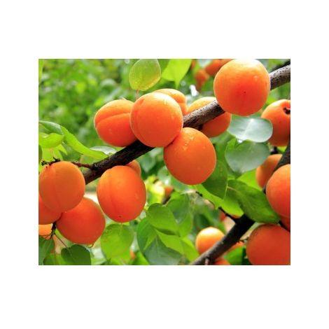 Planta Frutal Albaricoquero Currot. Albaricoque Temprano. 120 - 150 Cm