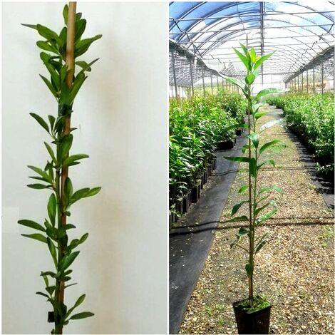 Planta Frutal Almendro Avijor. Tardío, para Zonas Frias. 80 - 100 Cm