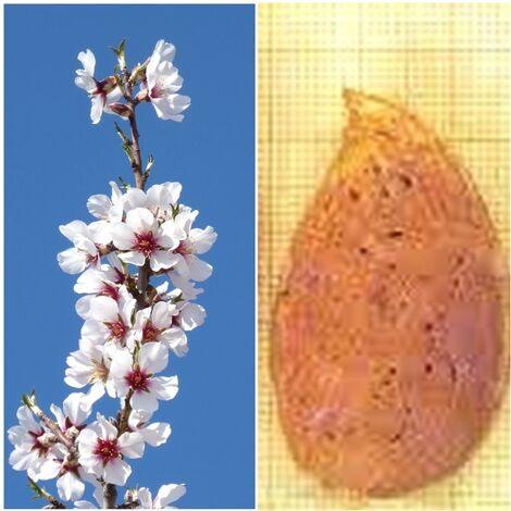 Planta Frutal Almendro Ferragnes. Resistente a la Sequia