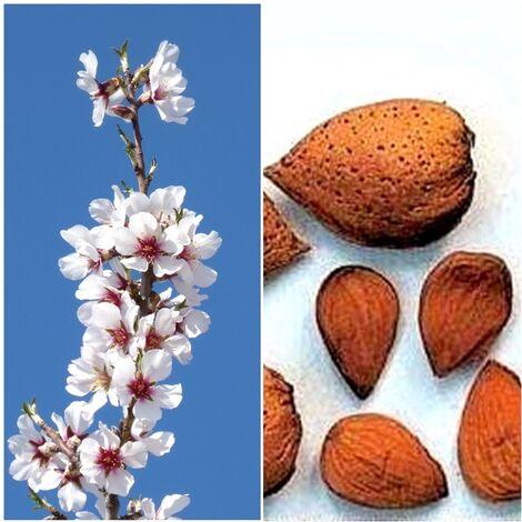 Planta Frutal Almendro Guara. Muy Productivo
