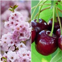 Planta Frutal Cerezo Burlat. Maduración Temprana