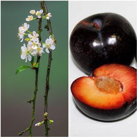 Planta Frutal Ciruelo Black Diamond. Piel Negra. 80 - 100 Cm
