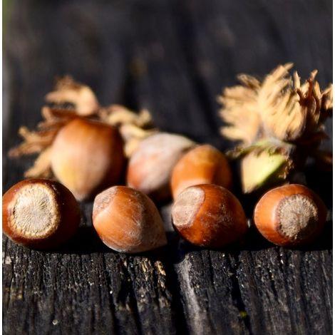 Planta Frutal de Avellano, Corylus Avellana