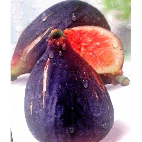 Planta Frutal Higuera Negra. Higos Negros. Altura Árbol 100 - 120 Cm
