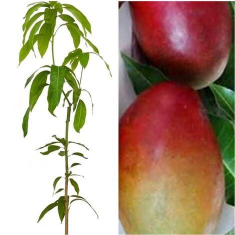 Planta Frutal Mango Palmer Rojo. Frutos Medianos
