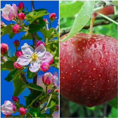 Planta Frutal Manzano Manzana Royal Gala. 80 - 100 Cm