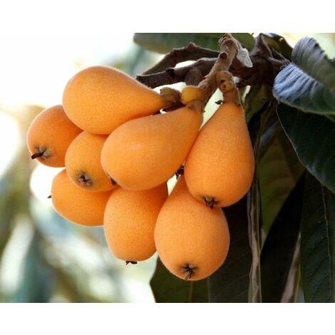 Planta Frutal Nispero del Japón. Planta de 80 - 100 Cm