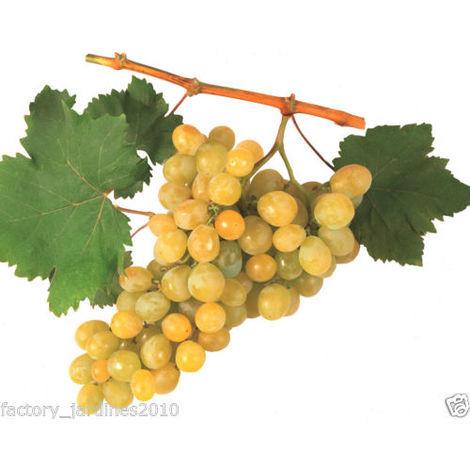 Planta Frutal Parra Moscatel. Uva Blanca de Delicado Aroma y Sabor Dulce. 100 Cm