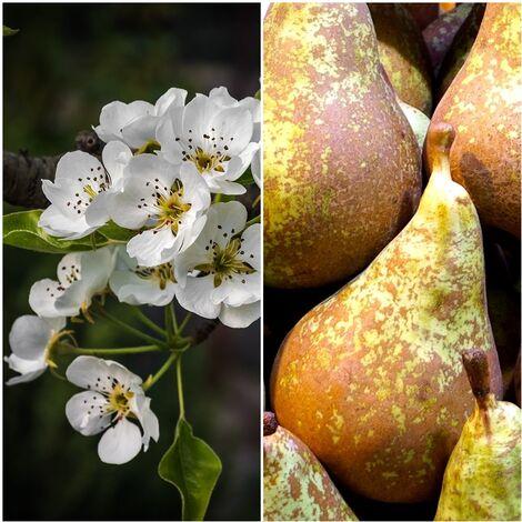 Planta Frutal Peral Pera Conferencia. Dulce y Jugosa. 80 - 100 Cm