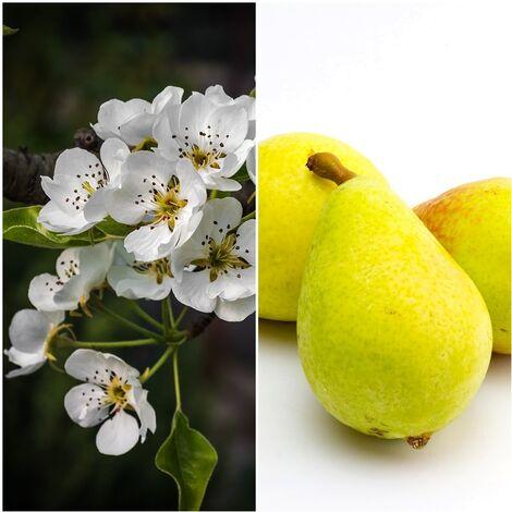 Planta Frutal Peral Pera Limonera. 80 - 100 Cm