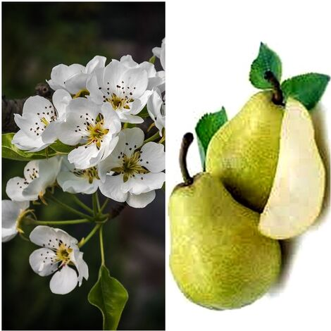 Planta Frutal Peral Williams. Pera Grande Jugosa. 80 - 100 Cm