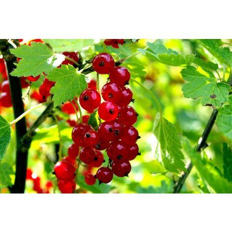Planta Frutos Silvestres Grosello Rojo, Ribes. Altura 30 - 40 Cm