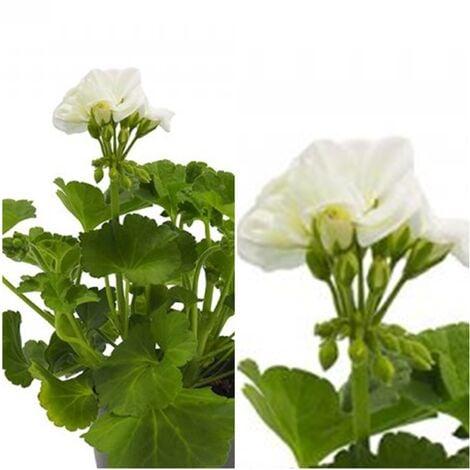 Planta Geranio Zonal Blanco. Maceta 13 Cm