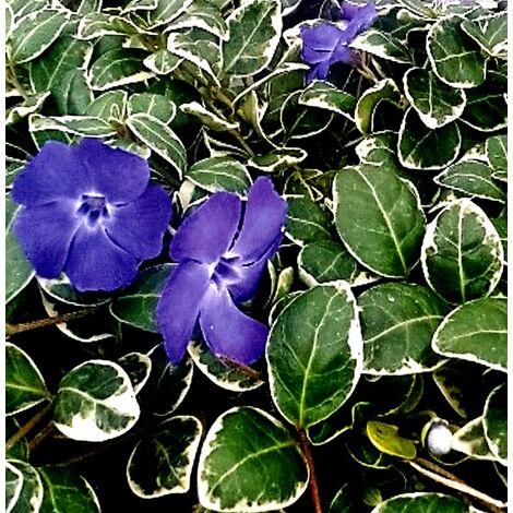 Planta Hierba Doncella, Vinca Major. Tapizante y Rastrera