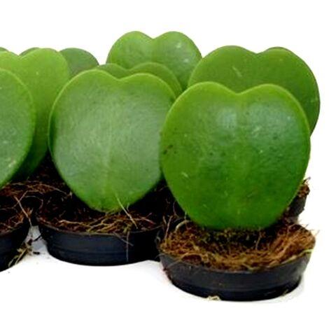 """main image of """"Planta Hoya Kerrii, Planta Corazon. Flor de Cera"""""""