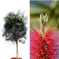 Planta Limpiatubos Callistemon Laevis en Copa. 90 - 100 Cm