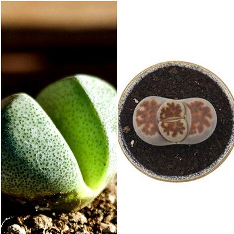 Planta Lithops Cactus Piedra
