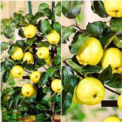 Planta Manzano Enano. Manzana Amarilla. 2 Años y en Producción de Fruta.