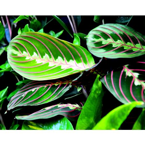 Planta Maranta. Marantha Fascinator