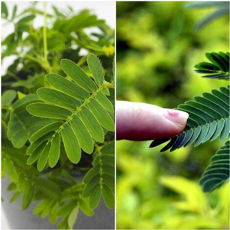 Planta Mimosa Pudica Sensitiva. sus Hojas se Pliegan al Tocarlas