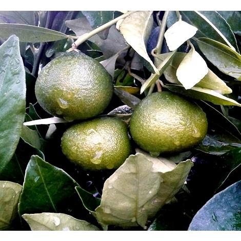 Planta Naranjo Mandarino. Citrus Reticulata. Altura Aprox. 120 Cm
