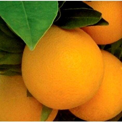 Planta Naranjo Navelina. de la Mas Resistentes al Frio. 110 - 130 Cm