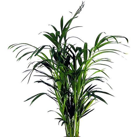 Planta Natural Areca. 50 - 60 Cm