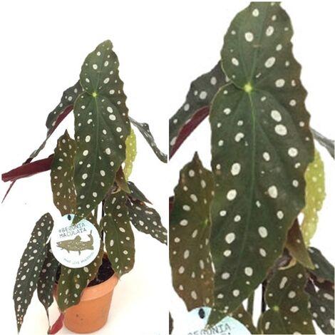 Planta natural Begonia