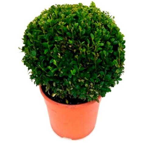 Planta Natural Buxus Bola en Maceta M22