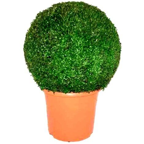 Planta Natural Buxus Bola en Maceta M45