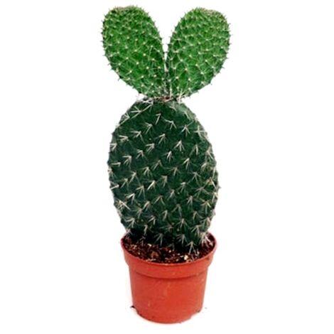 Planta Natural Cactus Opuntia en Maceta M10,5