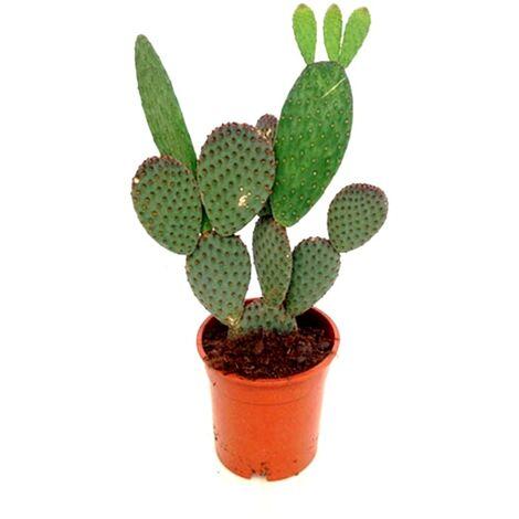 Planta Natural Cactus Opuntia en Maceta M17