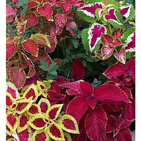 "main image of ""Planta Natural Coleo. Coleus Blumei. en Maceta de 11 Cm"""