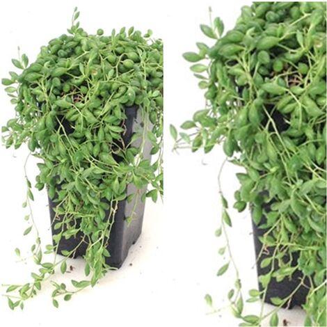 """main image of """"Planta Natural Colgante Cubridora Senecio. Planta Rosario"""""""