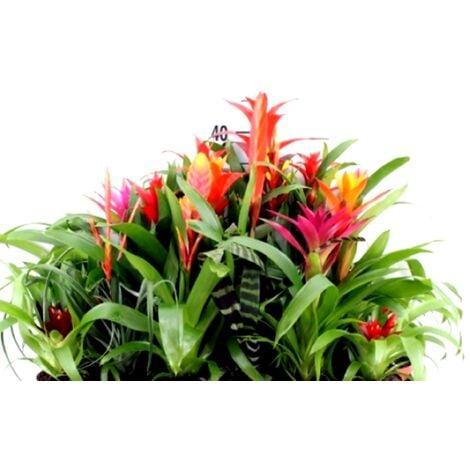 Planta Natural de Bromelia Variada, en Maceta de M9