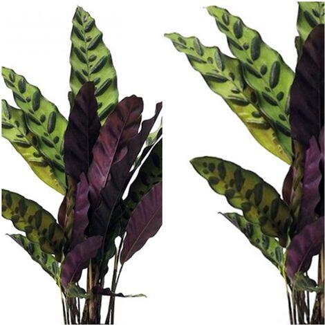 Planta Natural de Calathea Variada. 50 - 60 Cm