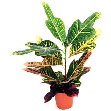 Planta Natural de Croton en Maceta M12