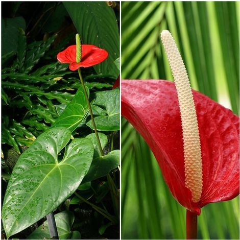 Planta Natural de Interior Anturio Anthurium. 70 Cm