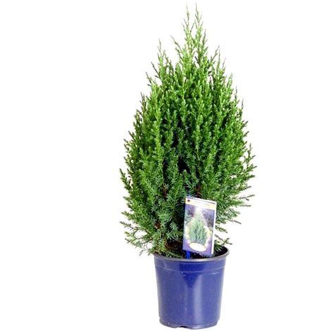 Planta Natural de Juniperus Stricta en Maceta M17