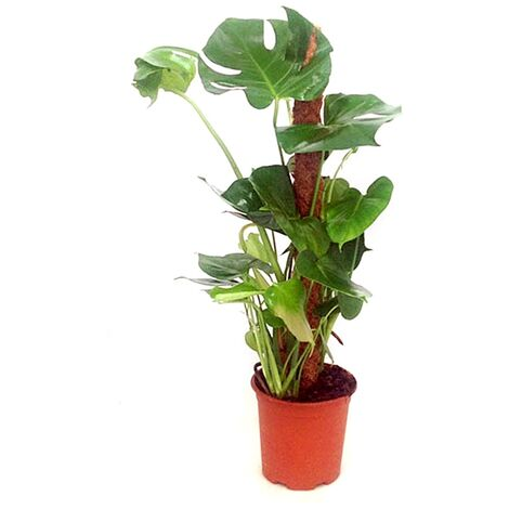 Planta Natural de Monstera Tutor en Maceta M19