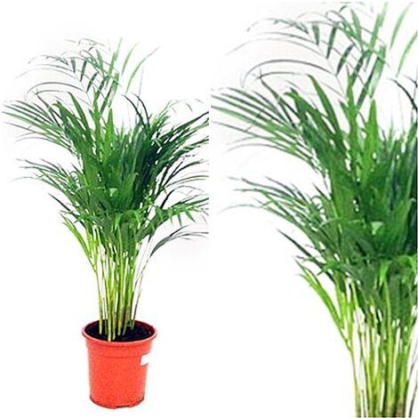 Planta Natural de Palmera Areca en Maceta de M21, Altura 90 Cm