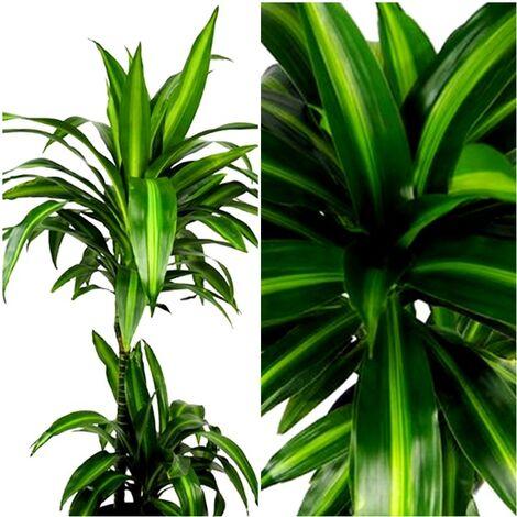 Planta Natural de Palmera Dracena Hawaii Sunshine. 100 Cm