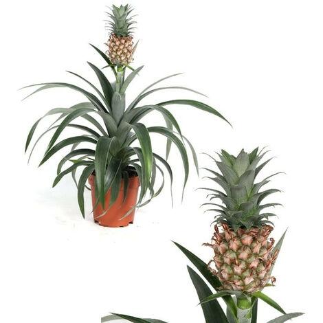 Planta Natural de Piña. Ananas. Altura 40 - 45 Cm