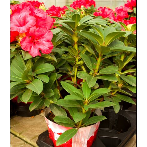 Planta Natural de Rhododendro en Maceta M19