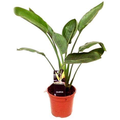 Planta Natural de Strelitzia Reginae en Maceta M17