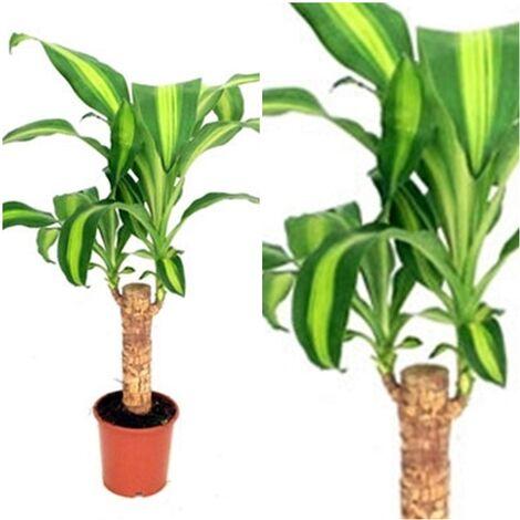 "main image of ""Planta Natural Dracaena Massangeana en Maceta M12"""