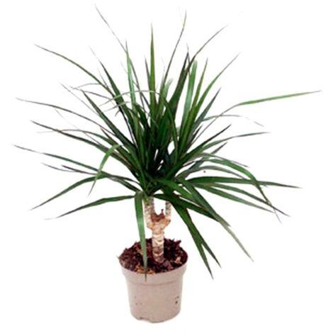 Planta Natural Dracena Marginata en Maceta M12